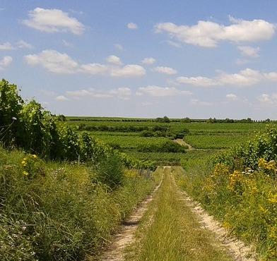 Vinmarker Rheinhessen Tyskland