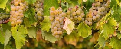 Chardonnay i Chablis