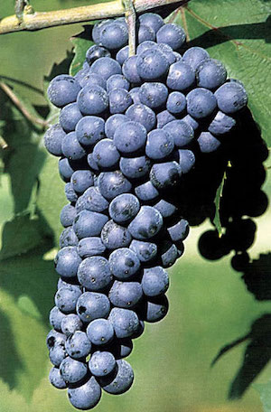 Dolcetto