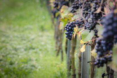 Pinot Noir druer i Bourgogne