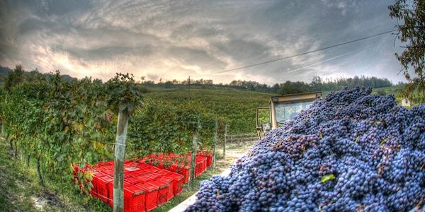 Så høstes der i Piemonte